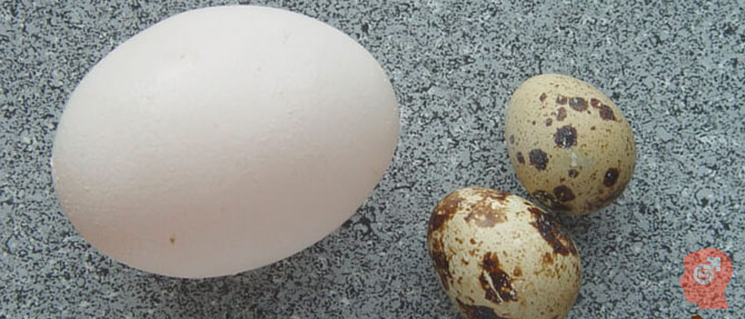 Что лучше: куриное яйцо или перепелиное?